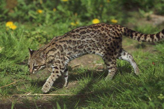 leopardus_tigrinus_-_parc_des_felins