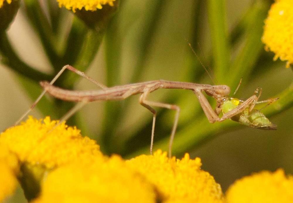 mantid-vs-bug