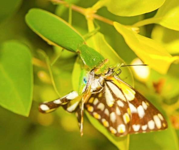 mantid-vs-butterfly