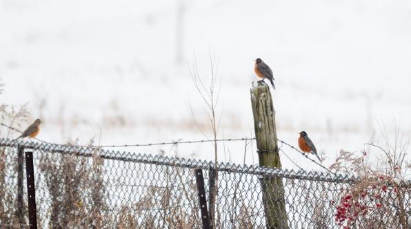 members-of-a-non-migrating-flock-of-american-robins-%28turdus-migratorius%29