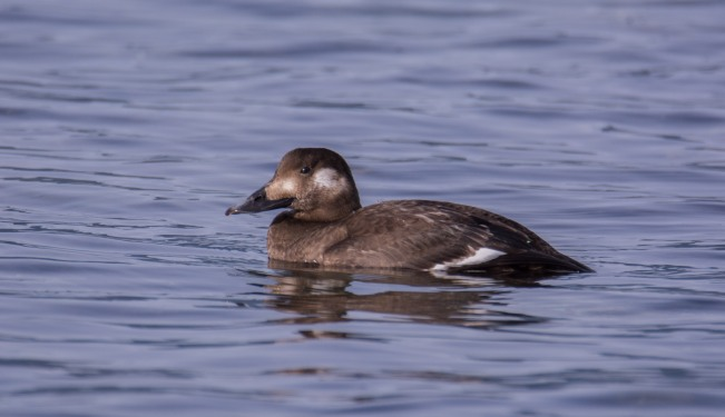 white-winged-scoter