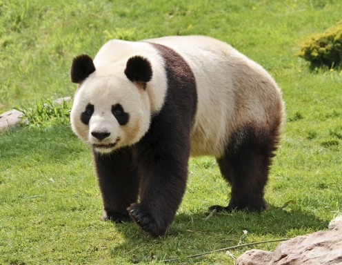 Why are giant pandas colored that way? Answer: It's ...