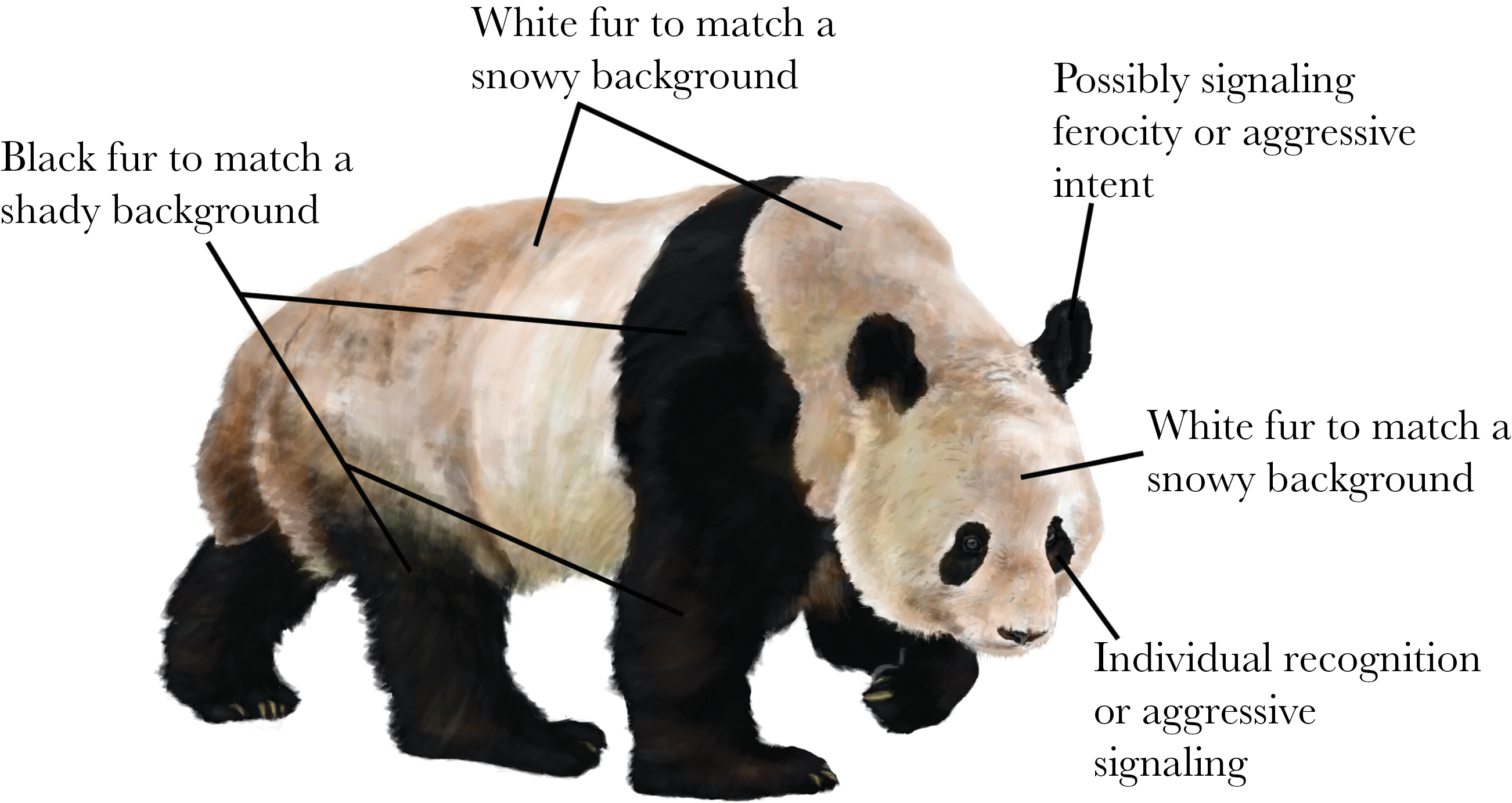 why are giant pandas colored that way? answer it\u0027s complicated Opossum Body Diagram (from paper) working hypotheses for pelage coloration in the giant panda (drawing by ricky patel)