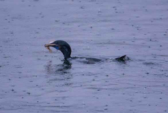 brandts-cormorant-1