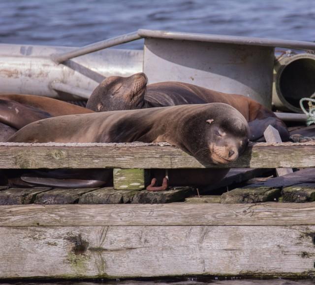 ca-sea-lions-2