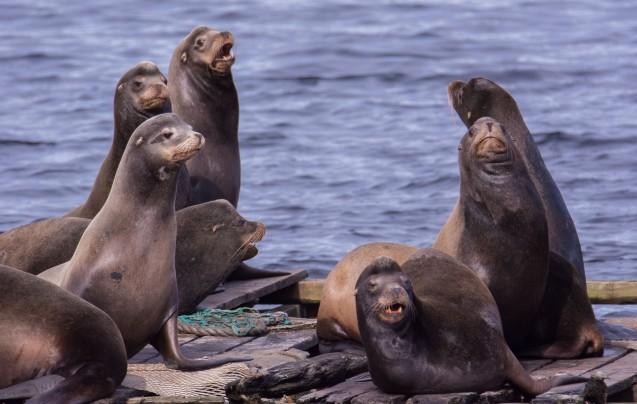 ca-sea-lions-3