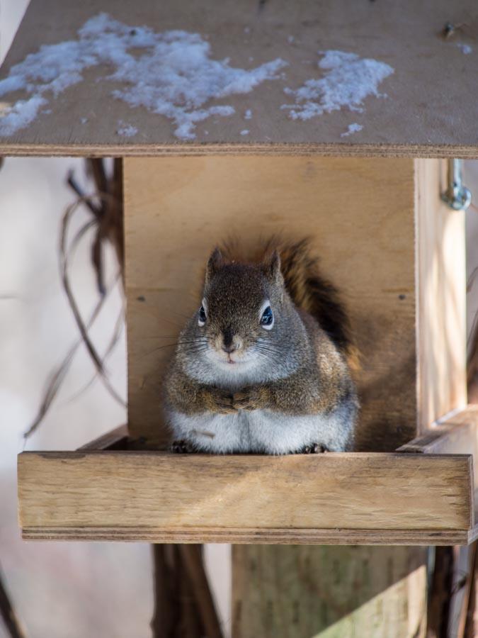 Fat Squirrel 171 Why Evolution Is True