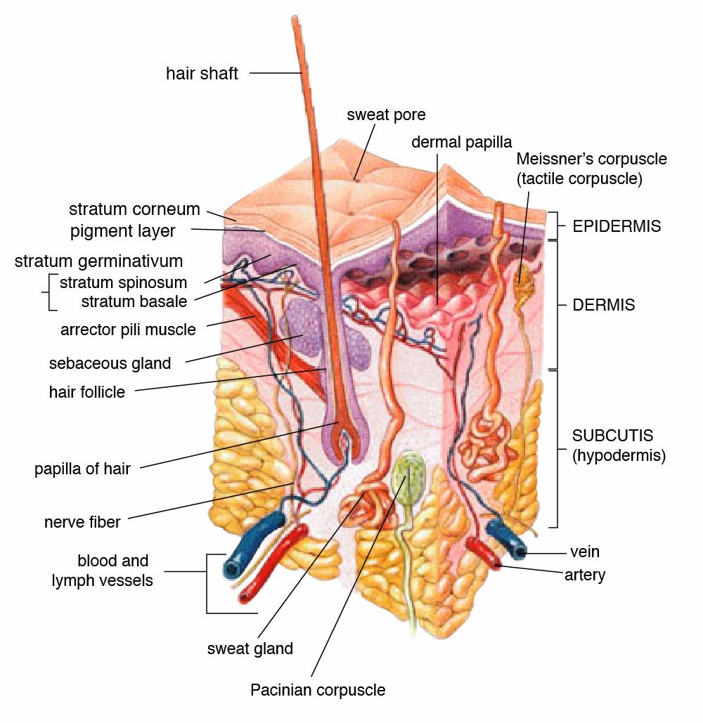 Dog Whiskers Anatomy Diagram - DIY Wiring Diagrams •