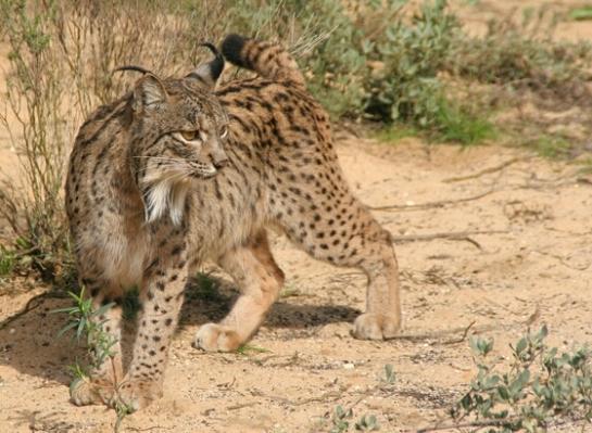 Caturday felid trifecta: Bringing back the Iberian lynx