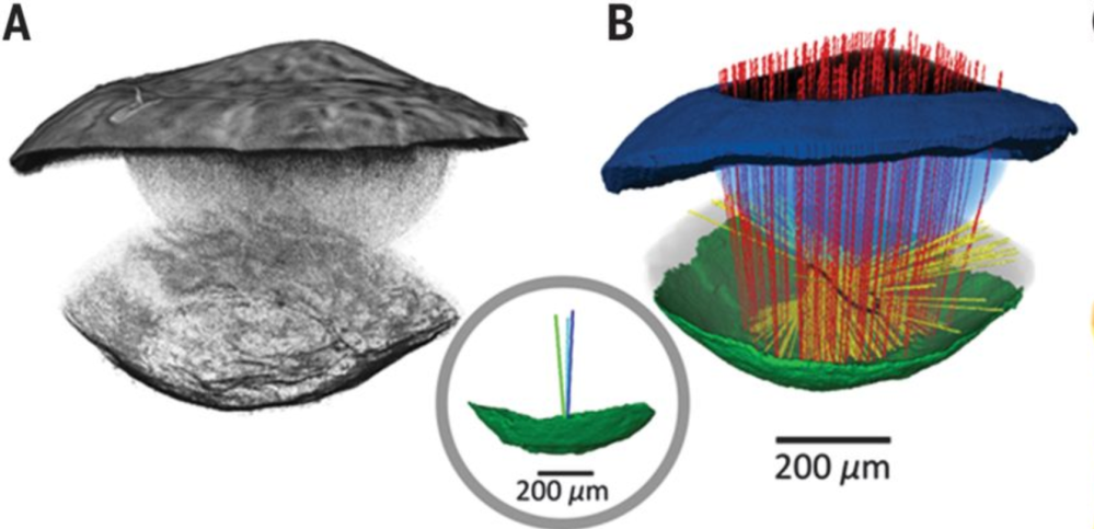 The Fantastic Eye Of The Scallop Revealed In A New Paper Why