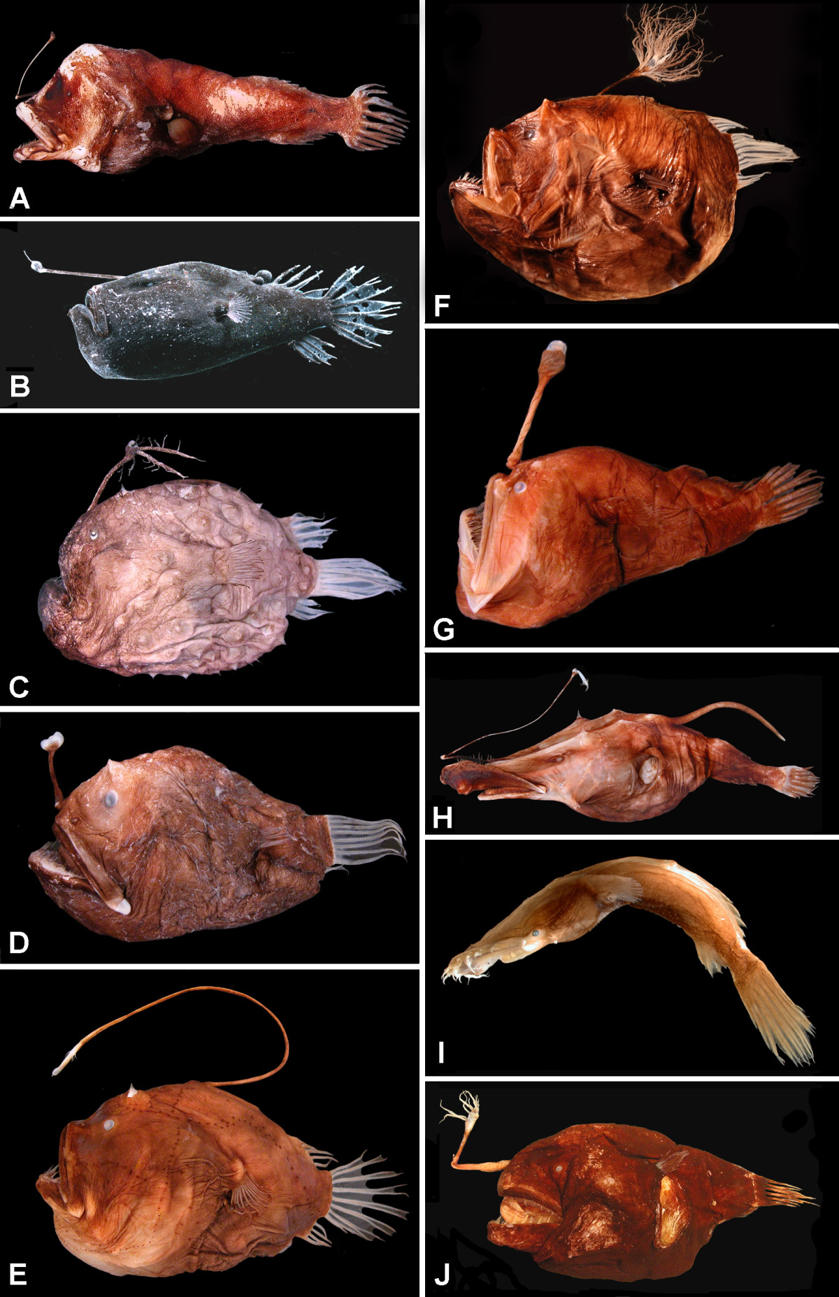 The bizarre anglerfish: first video of their equally bizarre mating ... for Male Angler Fish Vs Female Angler Fish  49jwn