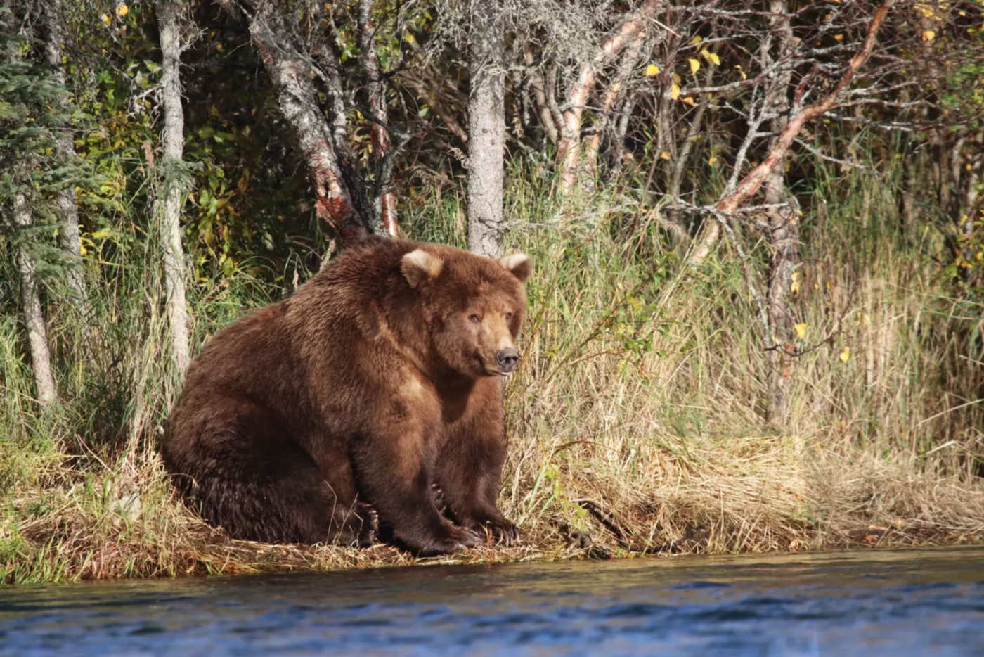 America's Fattest Bear « Why Evolution Is True
